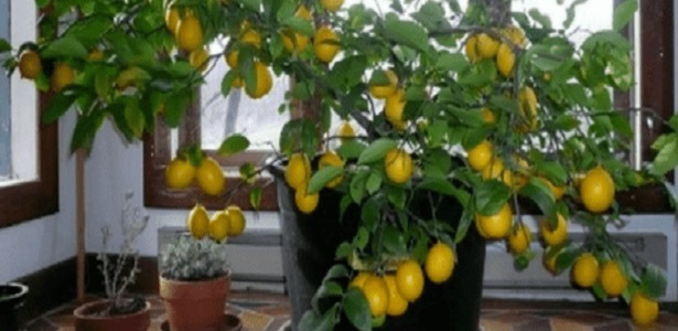 Grow a lemon tree from seeds in your home