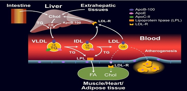 The difference between VLDL and LDL